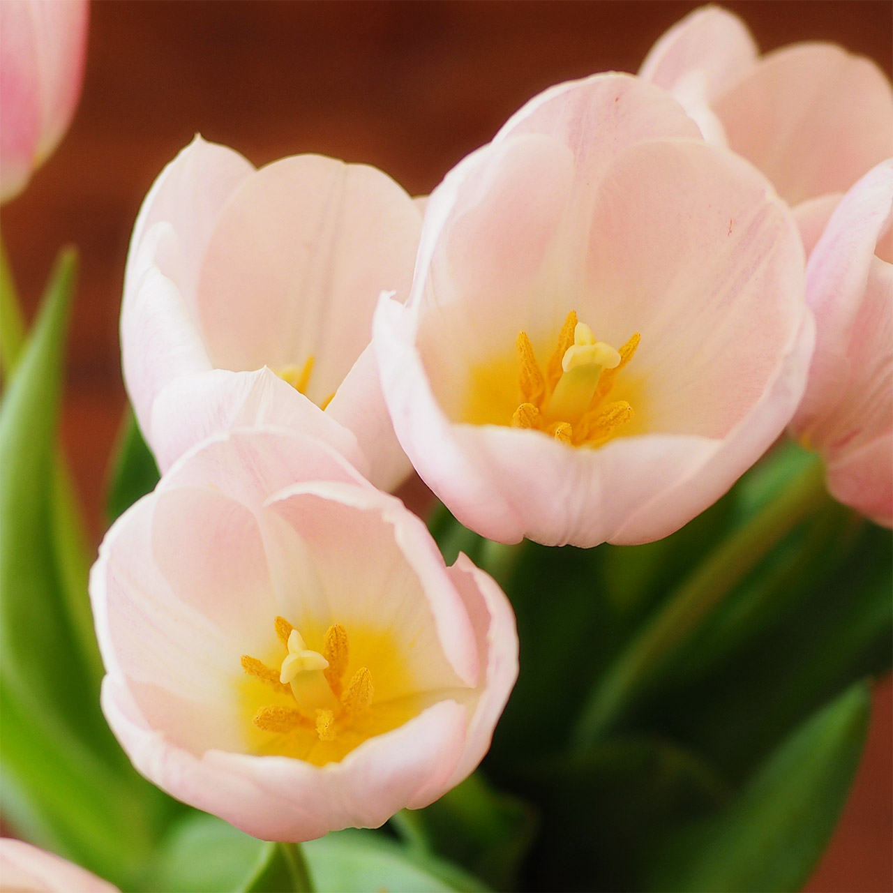 Close up of tulips